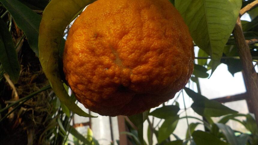 """Растението """"Горчив портокал""""- невисоко дръвче, един от най студоустойчивите цитруси. Родина Източната част на Азия."""