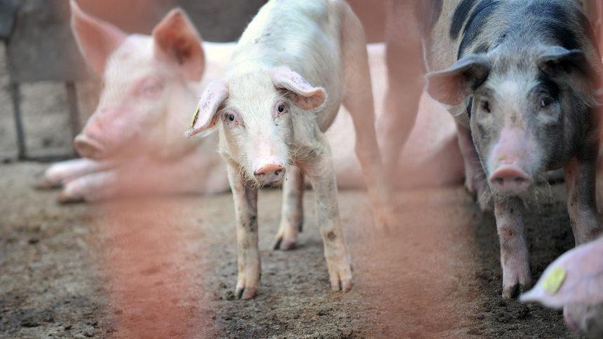 Заради чумата по свинете в област Русе е обявено бедствено положение